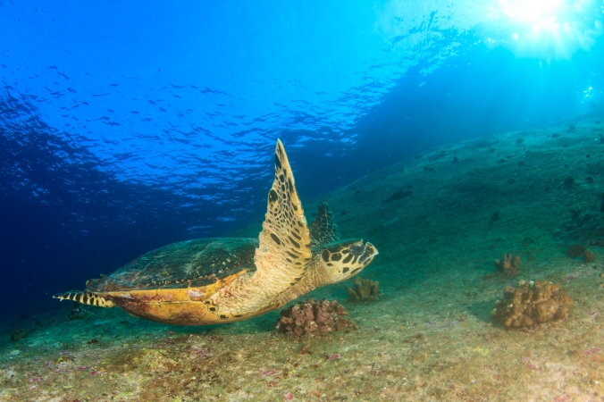 Sometimes, cool critters will join you for your safety stop! Here A hawksbill turtle cruises close to the surface.