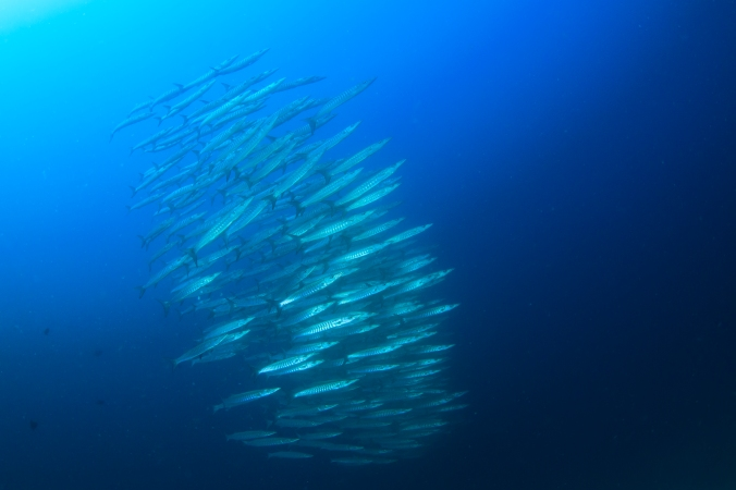 A school of Chevron barracudas surrounds us (hunts us?) while we hunt Manta Rays.
