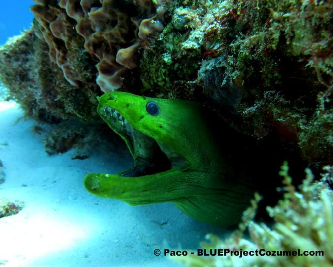 A Moray eel peaks out from under the reef in Cozumel,MX
